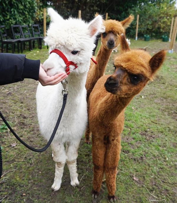 Dagje uit met peuter Zuid-Holland, uittips, alpaca aaien, alpaca boerderij