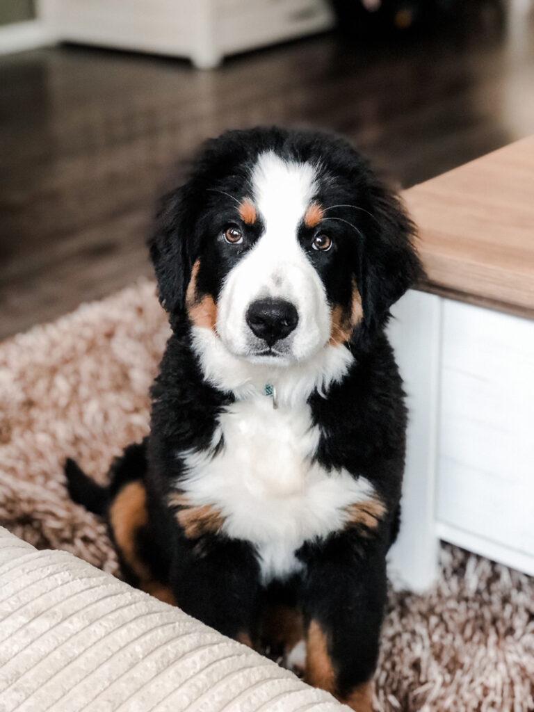 Je kind laten opgroeien met een huisdier, hond als huisdier, huisdier met klein kind, waarom is een huisdier goed, huisdier, Berner sennen honden, Berner sennen hond